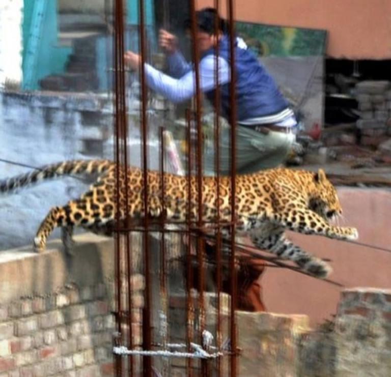 leopard through gate