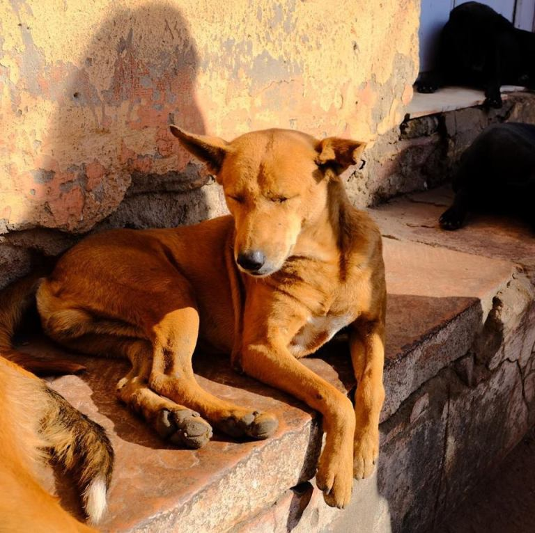 Dogs of Jadhpur.jpg
